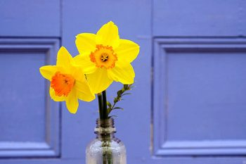 Two daffodils in a glass
