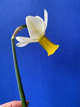 "Single Daffodil ""Trena"""