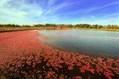 Cranberries in bog